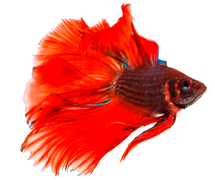 How to breed betta fish for Betta fish temp