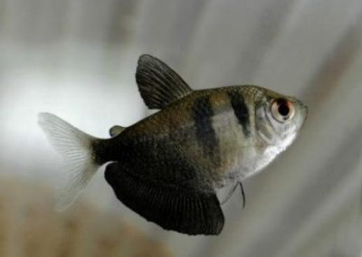 black skirt tetra photo