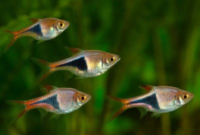 Harlequin Rasbora photo