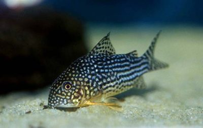 corydoras photo