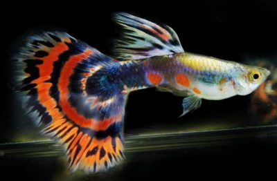 guppy photo