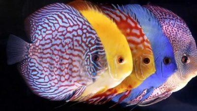 fish discus photo